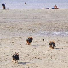 Auf geht's!  Die letzten Stunden am Strand genießen   #pmdoggyday2015 #yorkshireterrierblog #yorkie #Yorkshireterrier #hund #dog #blogger #dogblog #hundeblog #strand #urlaub #urlaubmithund #parnassia #bloemendaal #funatthebeach