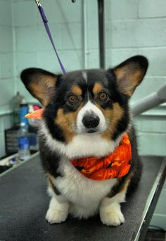 Recent Photos The Commons Galleries World Map App Garden Camera Finder . I thought this cute pic looks pretty awesome Pembroke Welsh Corgi Puppies, Corgi Dog, Dog Cat, Free Puppies, Puppies Puppies, Teacup Puppies, I Love Dogs, Cute Dogs, Corgi Facts