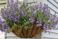 Fan flower hanging basket...