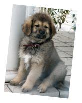 "white tibetan mastiff | Drakyi Titus SEntinel REgent"""