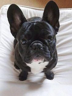 The major breeds of bulldogs are English bulldog, American bulldog, and French bulldog. The bulldog has a broad shoulder which matches with the head. French Bulldog Pictures, Cute French Bulldog, French Bulldog Puppies, French Bulldogs, Cute Puppies, Dogs And Puppies, Pet Dogs, Dog Cat, Baby Animals