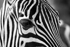 Zebra, Strepen, Zwart En Wit, Dierentuin, Dieren