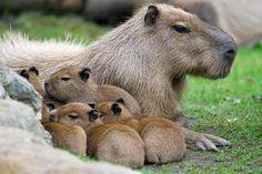 Kapybara, foto: Tomáš Adamec, Zoo Praha - obrázek, velikost 140.31 kB