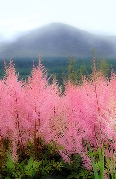 beautiful Astilbe in Northern Ireland