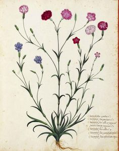 Botanical drawing | Carnation