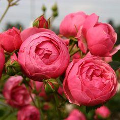 Mattocks Rose Flor. Pomponella KORpompan   Notcutts   Notcutts