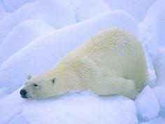 polar bear - Google Search