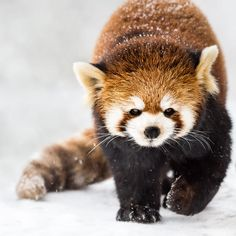 Red Panda in Snow II by Abeselom Zerit on 500px