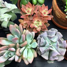 Couldn't resist these three today ( three others not pictured) 'Cubic Frost' Echeveria Graptoveria 'Opalina' and Graptosedum 'California Sunset' California Sunset, Exotic Fruit, Echeveria, Garden Inspiration, Beautiful Gardens, Frost, Succulents, Backyard, Amazing