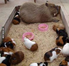 A Capybara Among Guinea Pigs