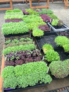 Micro greens in the Green House | The Allison Inn & Spa
