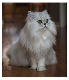 gizmo_doll_faced_persian_cat.jpg (300×350)