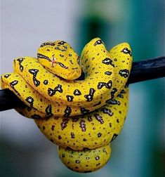 Green Tree Python (yellow phase) By Rachel Cynthia Photography on Flickr