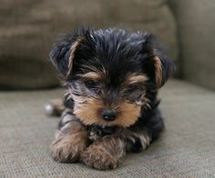 Awww, Yorkie puppies are sooo adorable Baby Yorkie, Yorkie Puppy, Mini Yorkie, Teacup Yorkie, Mini Schnauzer, Cute Puppies, Cute Dogs, Dogs And Puppies, Corgi Puppies