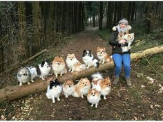 All the things I like about the Playfull Pomeranian Puppies More About Lively Pomeranian Puppy Cute Baby Dogs, Cute Baby Animals, Animals And Pets, Cute Puppies, Dogs And Puppies, Doggies, Corgi Puppies, Cute Pomeranian, Pomeranian Haircut
