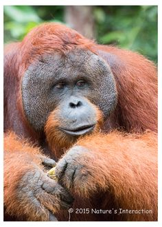 Set of quantity 5: Mature Male Orangutan by NaturesInteraction