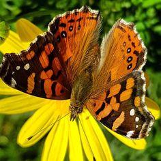 ...en mi #jardin #primavera #mariposa capturada con #galaxys7 #cosasdepapa