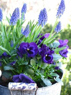 Grape hyacinths and pansies