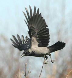 Hooded Crow by Michael Finn Ken