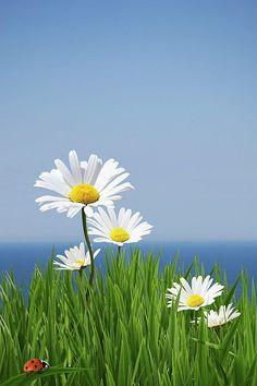 Günaydın papatyalar Günaydın mavi gökyüzü Günaydın doğan güneş Günaydın gülümseyen dünya