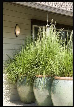 lemon grass - grasses for privacy