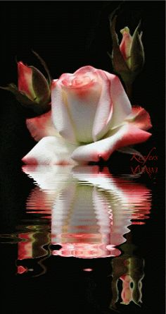Beautiful flowers gifs and flower colors on pinterest for Color changing roses