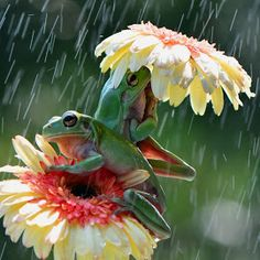 Frog Discover We like water! No I have a headache ! Nature Animals, Animals And Pets, Cute Animals, Frog Drawing, Rain And Thunder, Frog Tattoos, Frog Art, Cute Frogs, Frog And Toad