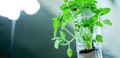 #6 Grow your own herbs and even vegetables at home and without a balcony or garden!
