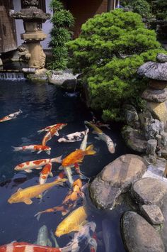 """Pond with Colorful Koi"" Picture by Wolfgang Kaehler buy now as poster, art print and greeting card.."