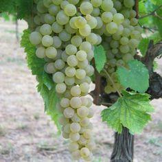 Il Vino spiegato da chi lo fa | Il Pecorino che è tornato dalla montagna - Poderi Capecci San Savino
