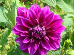 "Dahlia ""Thomas Edison"" Dahlias, Hot Pink, Plants, Flower, Pink, Dahlia, Dahlia Flower, Plant, Planets"