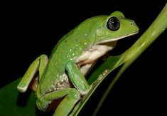 The Mexican Leaf Frog (Agalychnis dacnicolor)