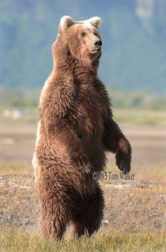 Alaska's famous bears include brown, grizzly, polar bears and black bears. Tom Walker has been photographing Alaska's bears for over 50 years. Bear Pictures, Animal Pictures, Black Bear, Brown Bear, Polar Bear, Grizzly Bears, Native American Art, Wildlife Photography, Animal Drawings