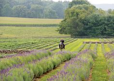 Carousel Farm Lavender in Bucks County Pennsylvania. I love lavender; this is very near me and I didn't know about it.