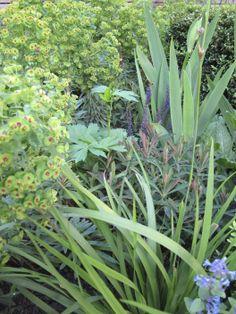 Evergreen combinations some of which flower, providing interest throughout the year. Euphorbia. Iris. Libertia. Geranium.