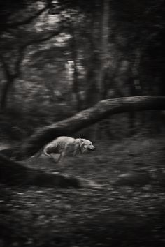 Hurtling through the forest, propelled by an unknown urgency  #wolf #mytumblr