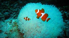Clown fishes waiting in front of their blue anemone house, Clownfish Big Fish, Bunt, Bing Images, Clownfish, The Incredibles, Wallpaper, Pictures, Animals, Waiting