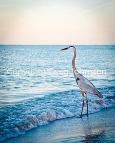 Gorgeous Blue Heron in Longboat Key, Florida