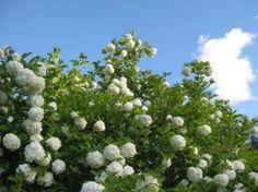 European cranberrybush / water elder. In finnish it is lumipalloheisi, (viburnum opulus). My mother-in-law has grown this up.