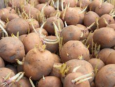 Kiełki na ziemniakach