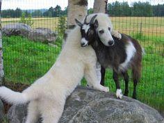 just a dog hugging a goat :)