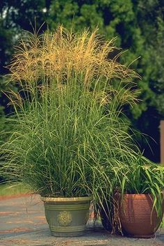 Arabesque Maiden Grass Buy Online, Best Prices