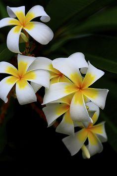 Plumeria - Flickr - Photo Sharing!