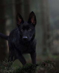 Black German Shepherd Puppy #germanshepardpuppyblack