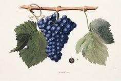 Ampelography - Grape Grenache (Cotes du Rhone).