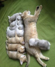 Photos Of Mama Cat And Her Kittens That Will Warm Even The Coldest, Deadest . - Morgan - - Photos Of Mama Cat And Her Kittens That Will Warm Even The Coldest, Deadest … Photos Of Mama Cat And Her Kittens That Will Warm Even The Coldest, Deadest Heart Cute Cats And Kittens, Cool Cats, Kittens Cutest, Kitty Cats, Baby Kitty, Ragdoll Kittens, Siamese Cats, Orange Kittens, Small Kittens