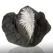 "4.9"" Sharp White on Black CHRYSANTHEMUM STONE Flower Andalucite China for sale"
