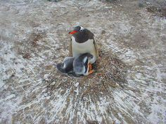 Penguin in the Falkland Islands