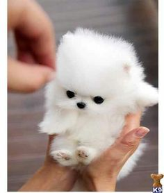 white puppy pomeranian