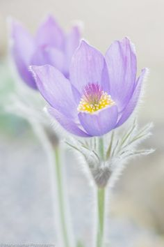 Pasque Flower by Paul Bate, via 500px